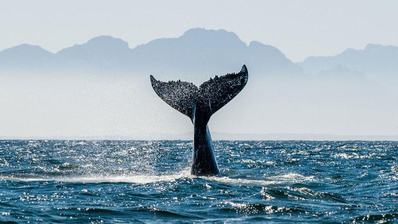 Une queue de baleine qui plonge aux Escoumins
